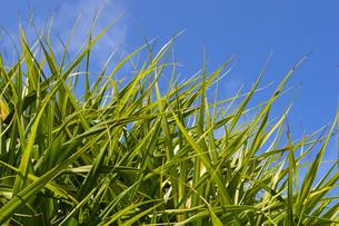 青空に伸びる南国植物アダンの葉の写真素材 [FYI02985673]