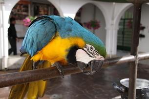 ブラジルに棲息するコンゴウインコの写真素材 [FYI02985734]