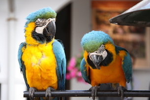 ブラジルに棲息するコンゴウインコの写真素材 [FYI02985735]