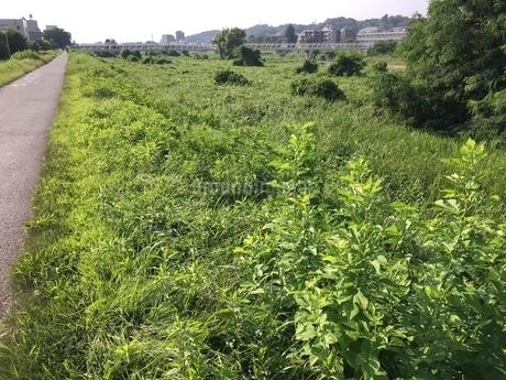 8月のグリーン鮮やかな あさ川添いと遊歩道 八王子 の写真素材 [FYI02985737]