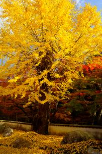 黄葉の写真素材 [FYI02985787]