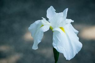 花菖蒲の写真素材 [FYI02985796]
