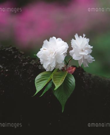 八重桜の写真素材 [FYI02985809]