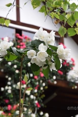 薔薇の写真素材 [FYI02985907]