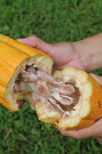 Cacao podの写真素材 [FYI02985935]
