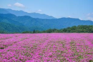 ペチュニアの花畑の写真素材 [FYI02985966]