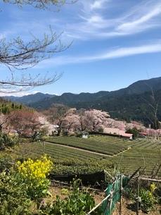 桜のある風景の写真素材 [FYI02985994]
