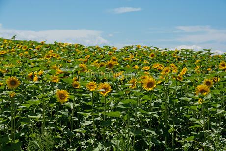ヒマワリ畑と青空の写真素材 [FYI02986026]