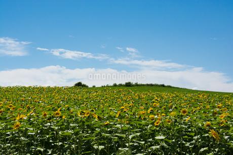 ヒマワリ畑と青空の写真素材 [FYI02986027]