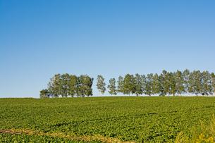 緑の野菜畑と青空 美瑛町の写真素材 [FYI02986035]