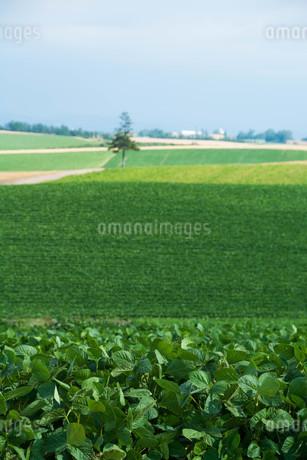 緑の野菜畑に立つマツの木 美瑛町の写真素材 [FYI02986045]