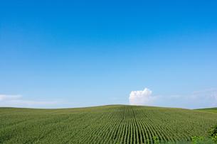 青空とトウキビ畑の写真素材 [FYI02986049]