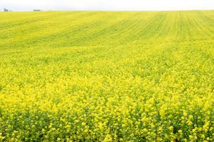 ナノハナ畑の写真素材 [FYI02986052]