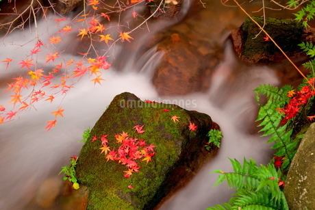紅葉(黄葉)した秋の渓流の写真素材 [FYI02986137]