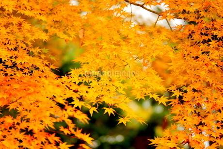 紅葉(黄葉)したモミジの写真素材 [FYI02986143]
