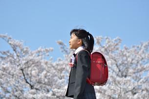 小学校を卒業する女の子(桜、ランドセル)の写真素材 [FYI02986286]