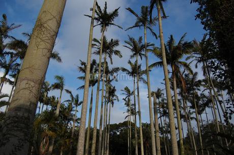 ヤシの木が密集しているの写真素材 [FYI02986308]