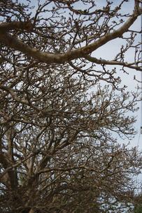 枯れ木が並んでいるの写真素材 [FYI02986312]