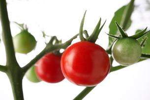 家庭菜園ミニトマトの写真素材 [FYI02986606]