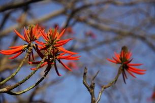 サンパウロの公園に咲くブラジルデイゴの写真素材 [FYI02986861]