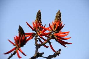 サンパウロの公園に咲くブラジルデイゴの写真素材 [FYI02986862]