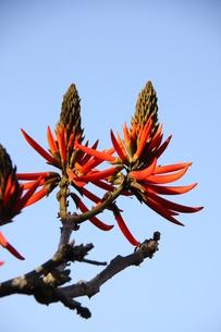 サンパウロの公園に咲くブラジルデイゴの写真素材 [FYI02986863]