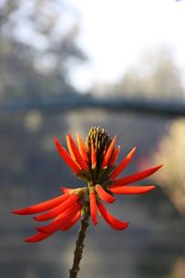 サンパウロの公園に咲くブラジルデイゴの写真素材 [FYI02986870]