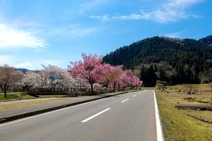 一乗谷朝倉氏遺跡の桜の写真素材 [FYI02986898]