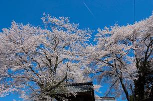 桜と鐘突き堂の写真素材 [FYI02986946]