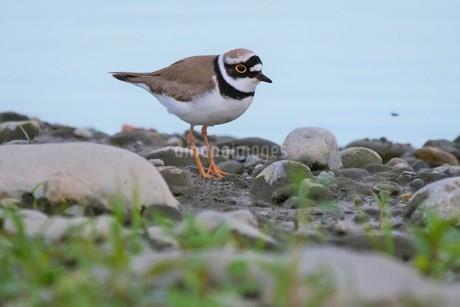 川の岸辺で餌探しをするコチドリの写真素材 [FYI02987269]