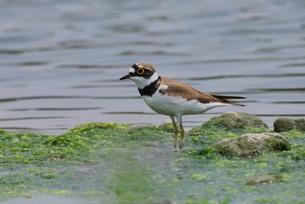 水辺で餌探しをするコチドリの写真素材 [FYI02987275]