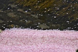 川を流れる桜の花びらの写真素材 [FYI02987338]