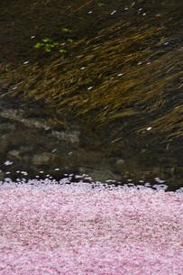 川を流れる桜の花びらの写真素材 [FYI02987339]