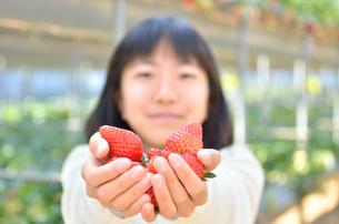 イチゴ狩りを楽しむ女の子の写真素材 [FYI02987391]