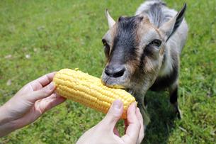 トウモロコシをもらって食べるヤギの写真素材 [FYI02987419]