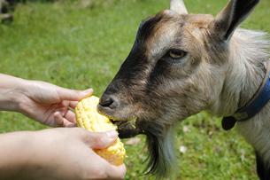 トウモロコシをもらって食べるヤギの写真素材 [FYI02987423]