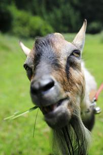 草を食むヤギの写真素材 [FYI02987432]