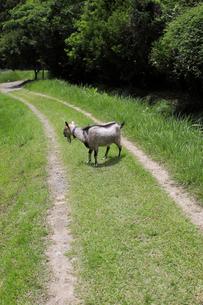 道の草を食むヤギの写真素材 [FYI02987437]