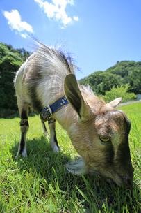 原っぱで草を食むヤギの写真素材 [FYI02987442]