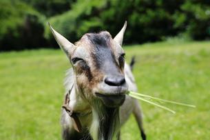 草はらで草を食むヤギの写真素材 [FYI02987445]