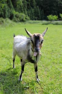 舌を出して鳴くヤギの写真素材 [FYI02987446]
