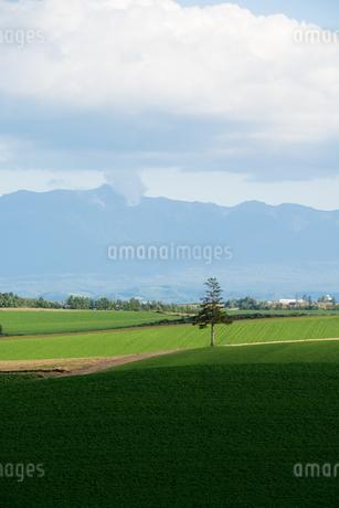 緑の畑に立つマツの木 美瑛町の写真素材 [FYI02987447]