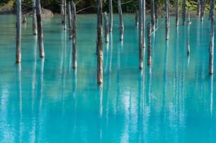 夏の青い池 美瑛町の写真素材 [FYI02987451]