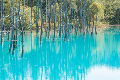 夏の青い池 美瑛町の写真素材 [FYI02987453]
