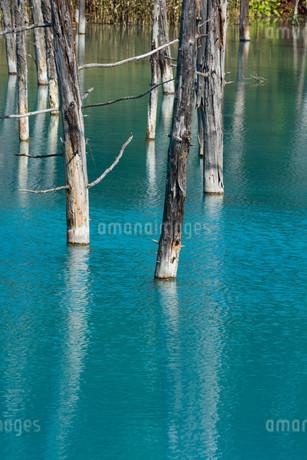 夏の青い池 美瑛町の写真素材 [FYI02987456]