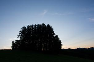 夕暮れの丘の上のカラマツ林 美瑛町の写真素材 [FYI02987458]