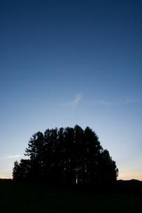 夕暮れの丘の上のカラマツ林 美瑛町の写真素材 [FYI02987459]