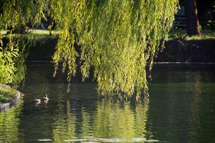 水面にたれる柳と水鳥の写真素材 [FYI02987462]