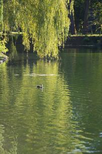 水面にたれる柳と水鳥の写真素材 [FYI02987463]