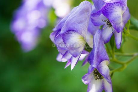 紫色の野生の花 トリカブトの写真素材 [FYI02987465]